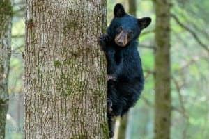 Gatlinburg Bear Cub