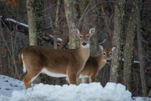 Two deer standing in the snow in Gatlinburg