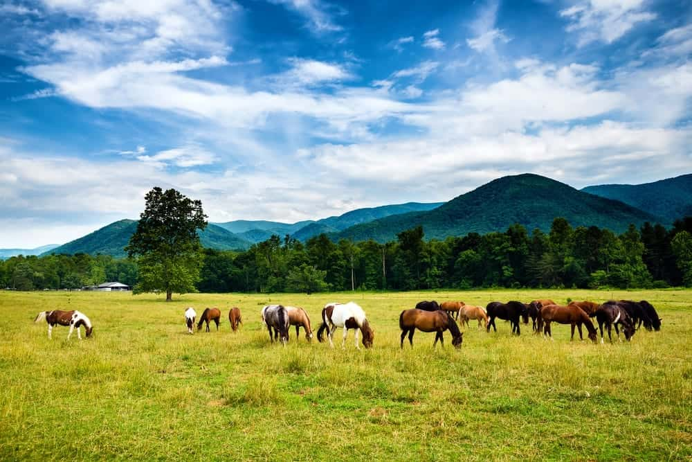 Horses grazing in Cades Cove, one of the best places to visit in the Smoky Mountains.